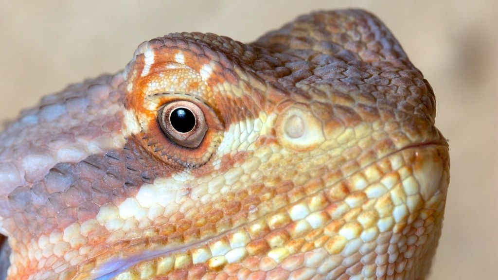 How To Clean Bearded Dragon Clogged Pores